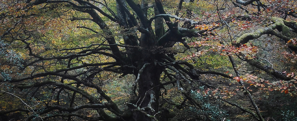 biescona beech forest